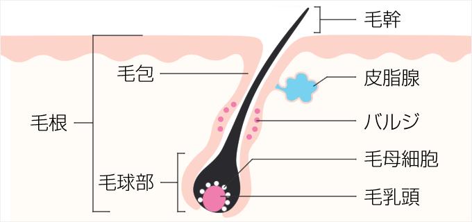 毛の生え方